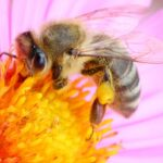 Honey bee in pink flower
