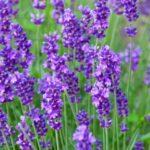 A beautiful open field of lavender