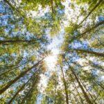 Sunlight shining through cedarwood trees
