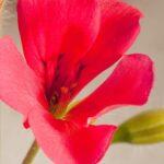 Close up of pink geranium flower
