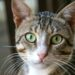 Tabby cat with green eyes staring into the camera